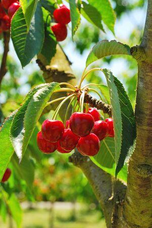 bing: Bing Cherries ready to be picked