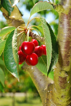 bing: Bing Cherries ready to be picked at Brozio Orchards in Winston Oregon just south of Roseburg