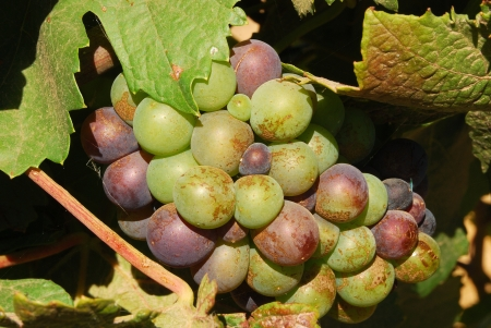 pinot: Pinot Noir grapes in the Henry Stock Photo