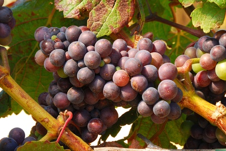 pinot noir: Pinot Noir grapes in the Henry Stock Photo