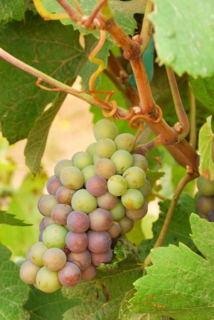 pinot: Pinot Gris grapes growing about 3 weeks before harvest in a vineyard in the Umpqua Valley near Roseburg OR