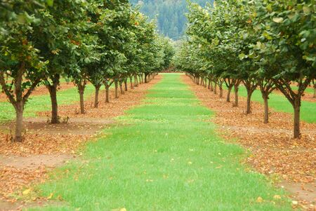 Hazelnut or filbert orchard in the Umpqua Valley near Roseburg Oregon