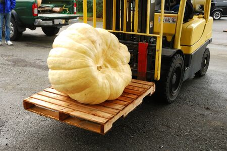 Giant pumpkins waiting to be weighed at the Canyonville Oregon Harvest Festival