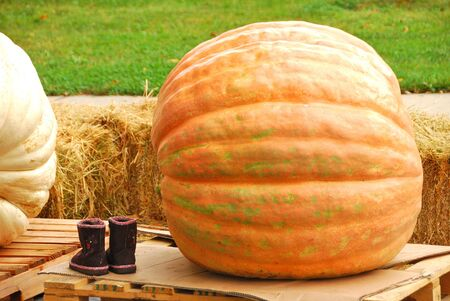 immense: Giant pumpkins waiting to be weighed at the Canyonville Oregon Harvest Festival