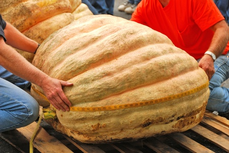 immense: Giant pumpkins being measured  at the Canyonville Oregon Harvest Festival