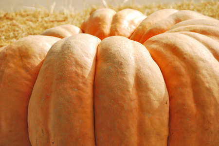 immense: Giant pumpkins waiting to be weighed at October halloween harvest festival in Oregon Stock Photo
