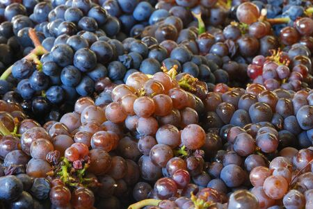 pinot: Pinot Gris grapes in the bin during the Late October harvest of wine grapes at a Umpqua Oregon winery.