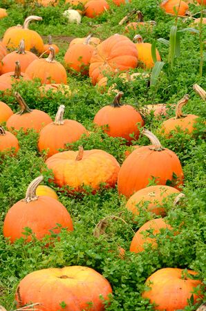 Field of pumpkins waiting for Halloween carving. photo