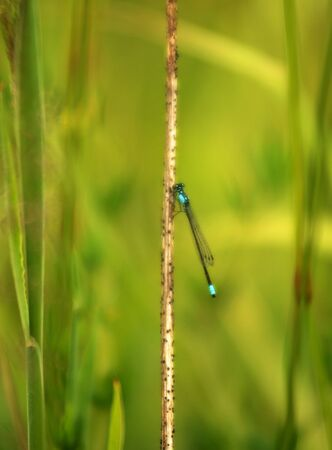 zygoptera: Common blue damselfly on a grass stem in a marsh area on the Oregon Pacific coast Stock Photo