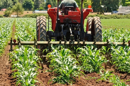 Tractor pulling a spring harrow to control weeds in a new growth corn field Stok Fotoğraf - 22121257