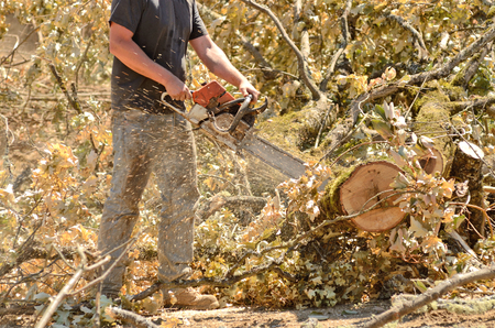 wood cutter: Logger triming and delimbing oak trees at a new commerical construction development Stock Photo
