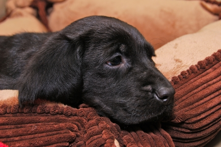 Cute black lab and bloodhound cross male puppy  Stock Photo - 22500312