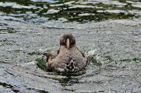tufted puffin: Tufted Puffin, Fratercula cirrhata, female cleaning herself in the cold ocean water