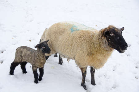 lambing: Ewe and Lamb during a winter storm in the Umpqua Valley near Roseburg Oregon