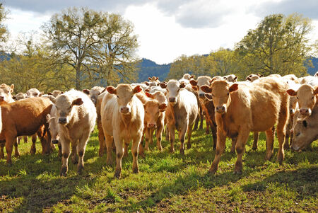 steers: Large heard of Brangus beef steers on a small ranch in the Umpqua Valley in Oregon
