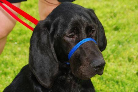 blood hound lab Stock Photo - 25754348