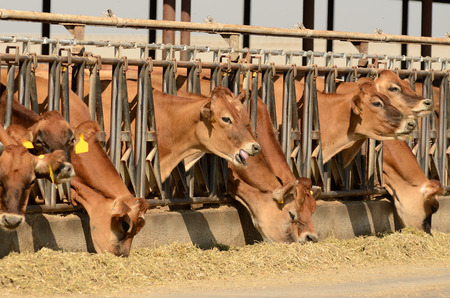 jersey cattle: Jersey cows feeding after being milked at a central California dairy