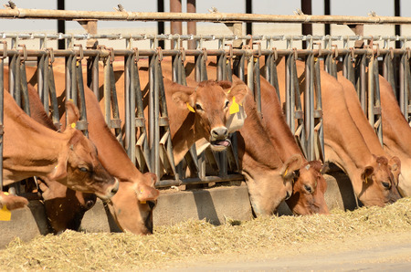 Jersey cows feeding after being milked at a central California dairy photo