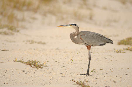 herodias: Great Blue Heron, Ardea herodias, looking for fish in the Gulf of Mexico near Pensacola