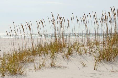 Sea oats, Uniola paniculata, is an important plant species that stabilizes shifting sand dunes along the Gulf of Mexico near Pensacola Stock Photo