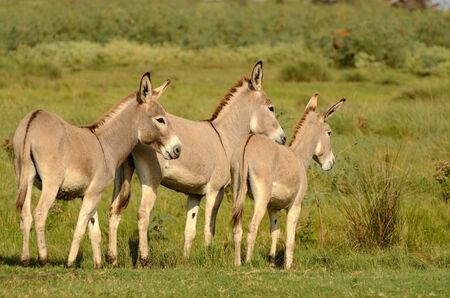 Abyssinian or Ethiopian Donkey in a marsh land in eastern Texas near Galveston