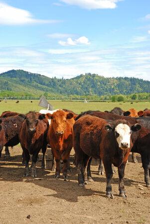 steers: Angus cross steers on a large open field beef ranch near Umpqua Oregon