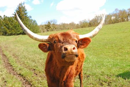 longhorn cattle: Texas Longhorn ganado en un campo Foto de archivo