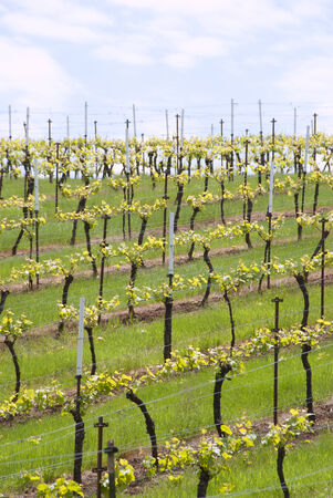 willamette: New spring grapes growing in a vineyard in the central Willamette Valley around Salem Oregon
