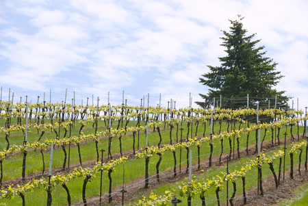 New spring grapes growing in a vineyard in the central Willamette Valley around Salem Oregon