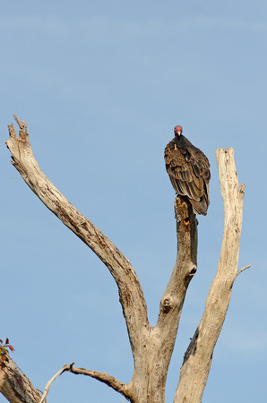 scavenging: Turkey Vulture, Cathartes aura, sitting in an dead tree smelling for dinner in southern America