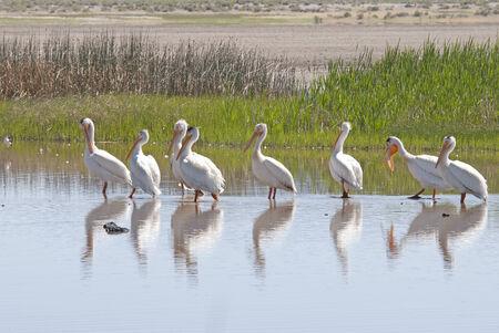 pelecanidae: American White Pelican,  Pelecanus erythrorhynchos, Family Pelecanidae, Summer Lake Oregon Stock Photo