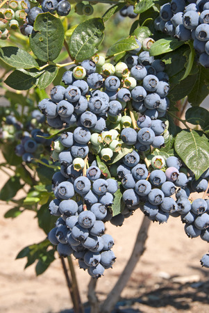 Bunch of blueberries on a big farm in the Umpqua Valley of Southern Oregon
