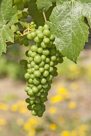cabarnet: Cabarnet Franc young grapes growing in the sunny Umpqua Valley near Roseburg Oregon