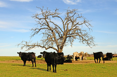 steers: Large herd of angus cross beef steers feed on grass on a ranch in northeastern Texas