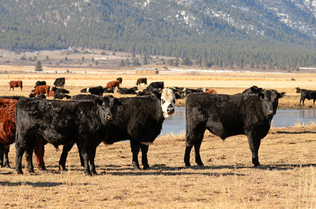 steers: Large herd of angus cross beef steers feed on grass on a ranch in Nevada Stock Photo