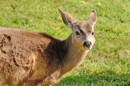 Young blacktail deer, a subspecies of mule deer, graze on fresh grass at a golf course 写真素材