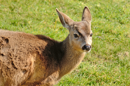 Young blacktail deer, a subspecies of mule deer, graze on fresh grass at a golf course photo