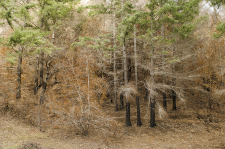 underbrush: Damage to the base of some douglas fir trees following a forest fire that burned underbrush but did not kill trees Stock Photo