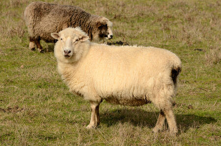 romney: Romney ewe sheep standing in a pasture in Oregon Stock Photo