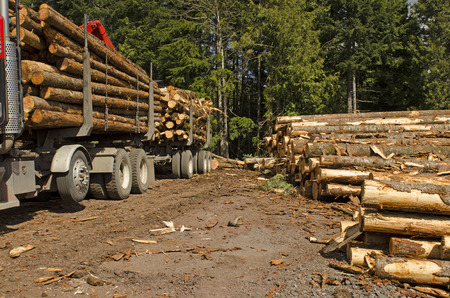truck driver: A log loader or forestry machine loads a log truck at the site landing with the driver securing the load in southern Oregon
