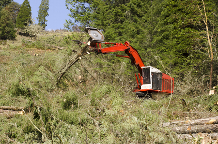logging truck: Track mounted forestry feller buncher cutting down down conifer fir trees logs at a logging unit site in Oregon