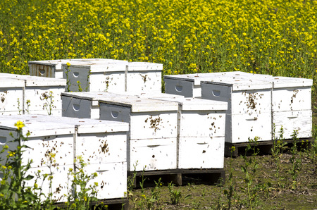 willamette: Honey bee nest boxes at a field of Sinapis Alba, Yellow mustard being grown for seed in the Willamette Valley in Oregon Stock Photo