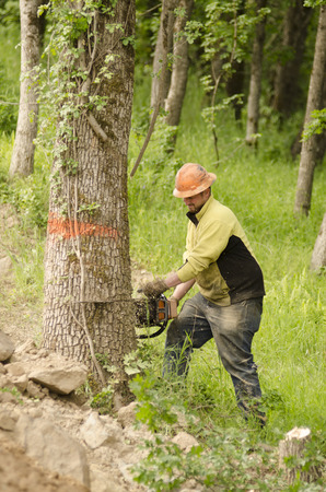 felling: A logger tree faller cuts down a whte oak tree to make way for a new construction site