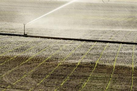 winter wheat: Winter wheat freshly planted in a farm field in the Willamette Valley in Oregon