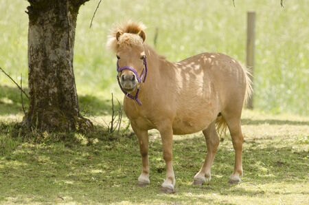 shetland pony: Small shetland pony plays in the summer sun in a pasture in Oregon