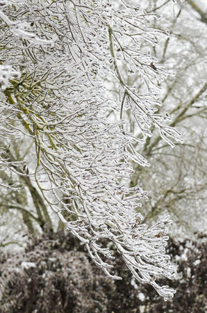 Ice surrounds the branches of ornamental trees during a winter snow and freezing rain storm Stok Fotoğraf
