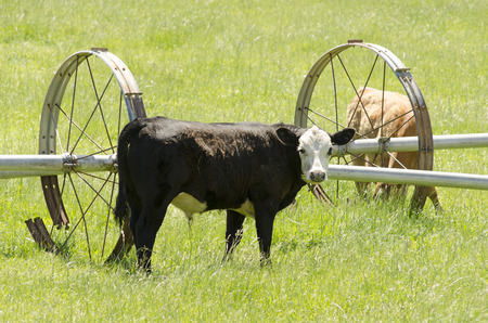 steers: Heard of mixed breed beef steers on a small ranch in the Umpqua Valley in Oregon