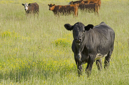 steers: a group of herford and angus cross breed steers in a pasture of grass and yellow flowers Stock Photo