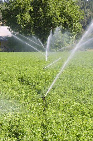 irrigated: A farmers alfalfa field being irrigated with traditioanl movable pipe