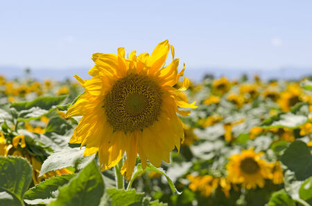 agricultural area: Large field of sunflowers growing in the Northern Califorina agricultural area near Sacramento